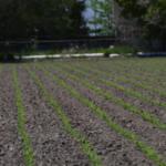 crop stand establishment