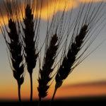 wheat at sunset