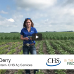 How to protect soybeans from Iron Deficiency Chlorosis